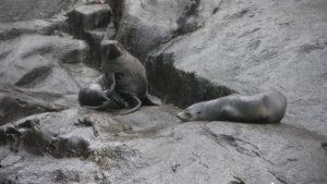 Robben auf Felsen an der Küste in Tasmanien