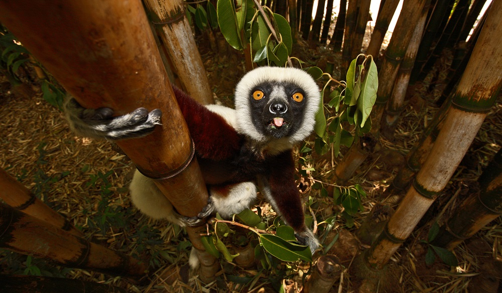 Cocquerel Sifaka