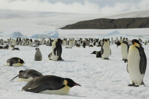 Pinguine in der Antarktis